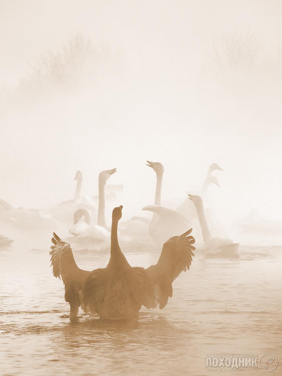 Алтайский край, с.Урожайное, Лебединое озеро.Мороз -40, аккумуляторы быстро разряжаются, автофокус клинит, сам как сосулька :) Озеро зимой не замерзает. Вероятно - подпитывается геотермальным источникам, и мигрирующим лебедям лень лететь дальше на юг - их на озере сотни. Тем более, что их регулярно и обильно кормят, как местный колхоз, так и многие зрители-посетители. Туман над озером стоит в морозы.Композиция из 2х кадров.
