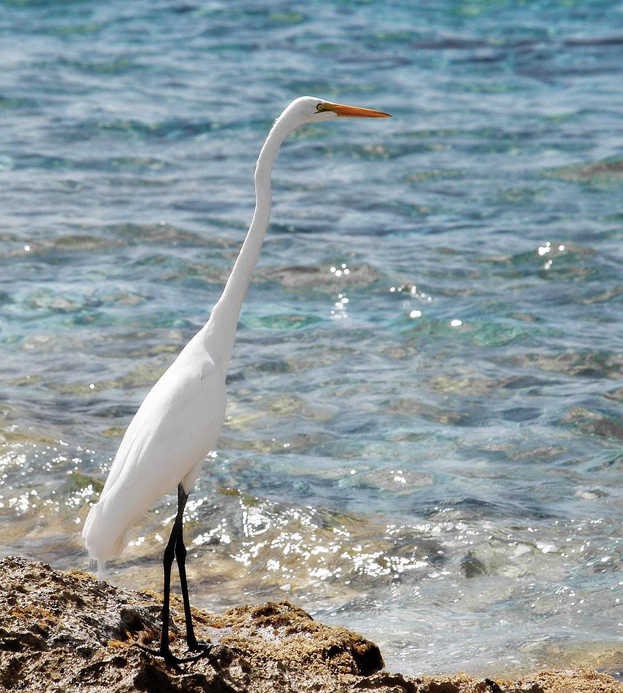 Белая цапля на берегу Карибского моря. Остров Косумель.