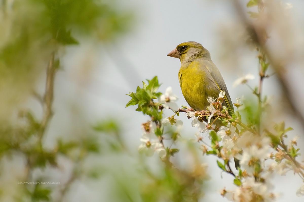Зеленушка (самец), или лесная канарейка, или дубоноска (устар.) — птица семейства вьюрковых