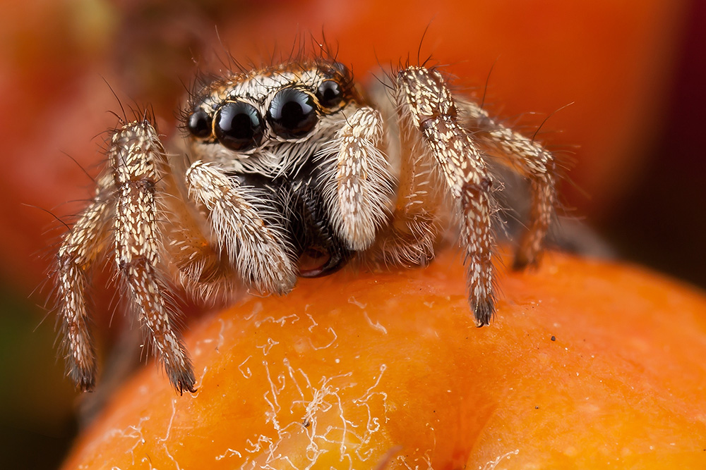 Рябина, паук скакун