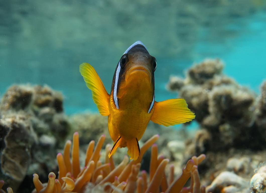 Размер Рыбки не более десяти сантиметровАмфиприон, Красное море