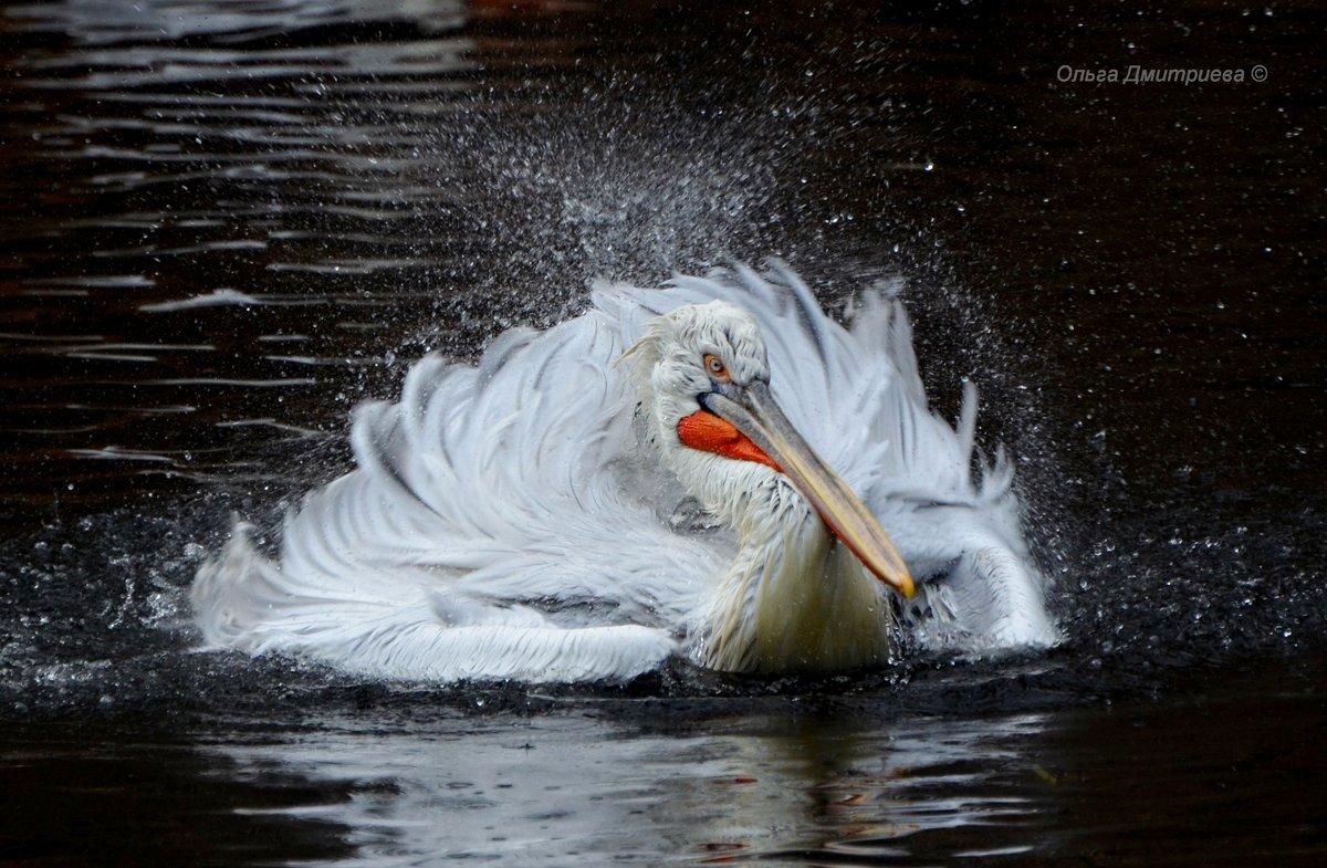 московский зоопарк, птицы пеликаны