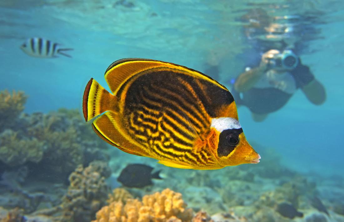 Полосатая Рыба- Бабочка, Красное море