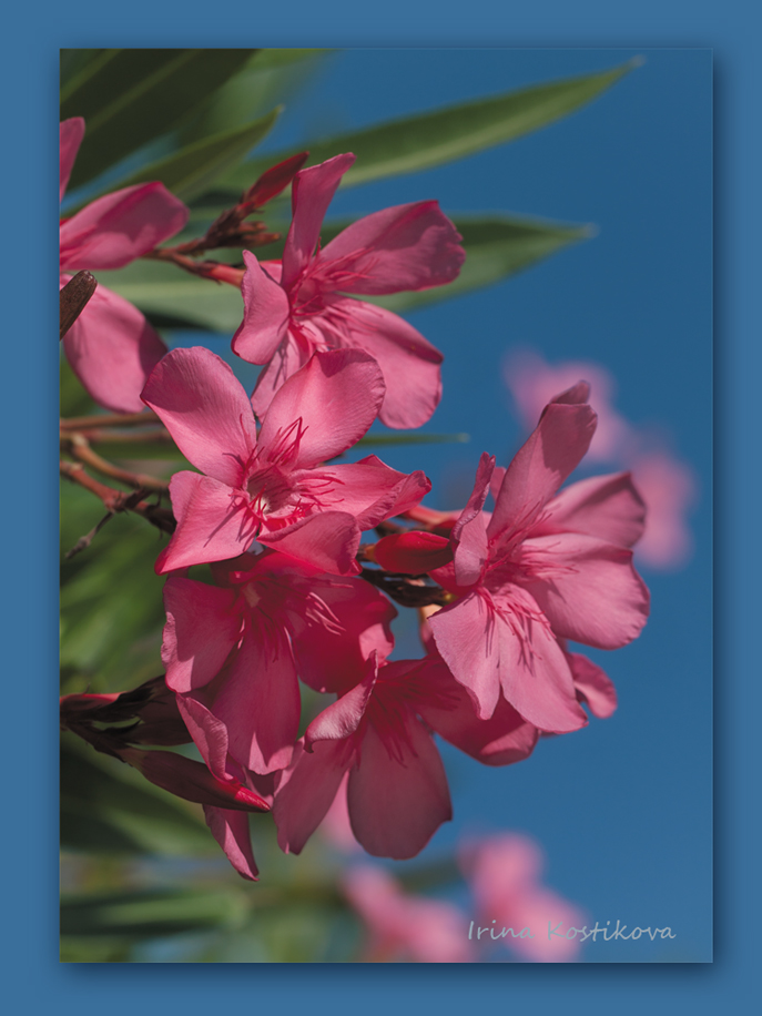 цветущий олеандр, Греция