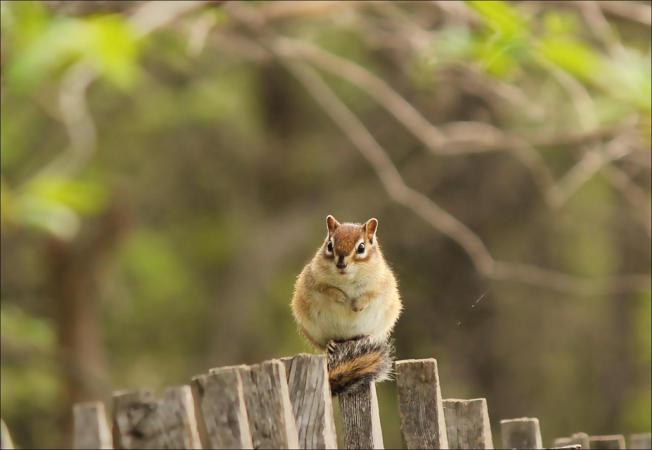 Бурундук из леса на деревенском заборе