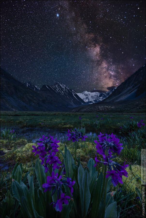 Горные фиалки под ночным алтайским небом. На заднем плане белеет гора Белуха.Россия, Республика Алтай, Катунский хребет, июнь 2014.