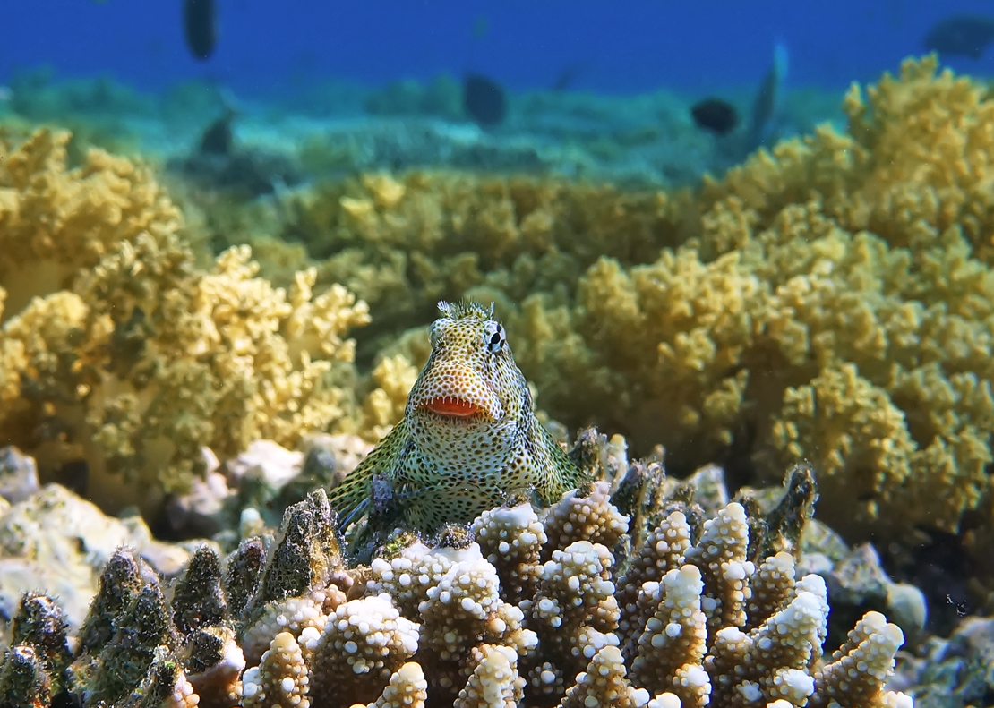 Размер Рыбки около 10 сантиметров.Короткая Экзалия, Красное море