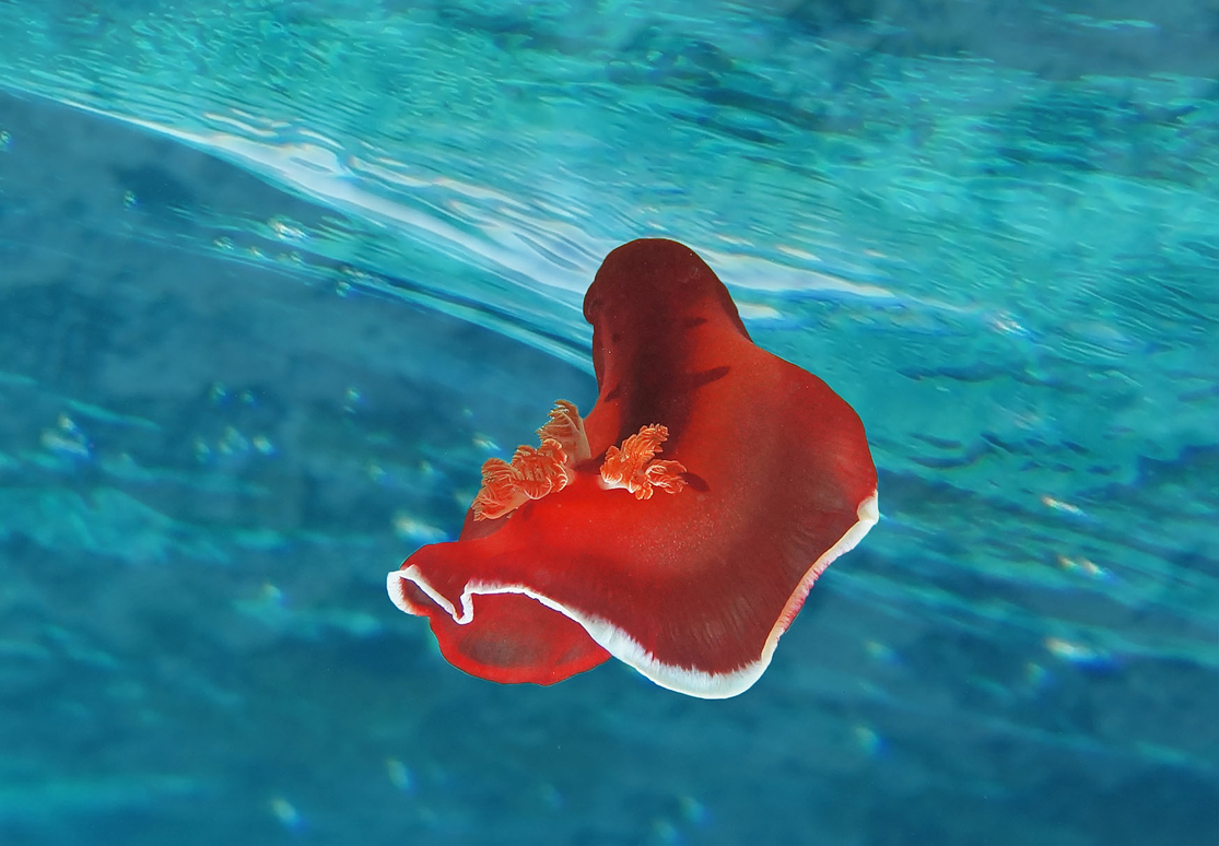 Размер Моллюска около 20 сантиметров.Голожаберник Испанский Танцор. Красное море