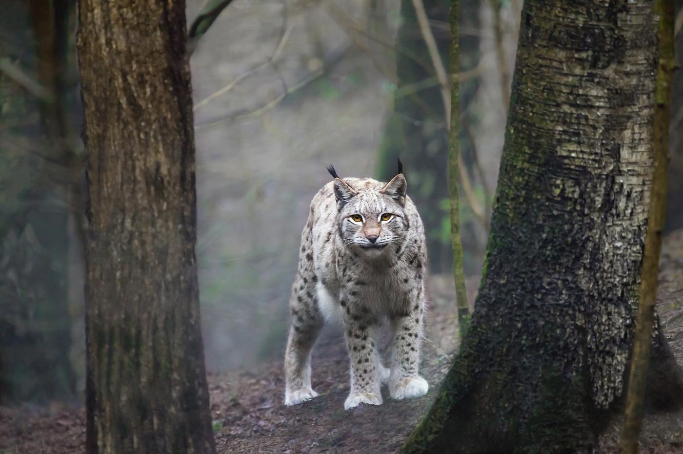 Рысь снята в Национальном парке Гауя.