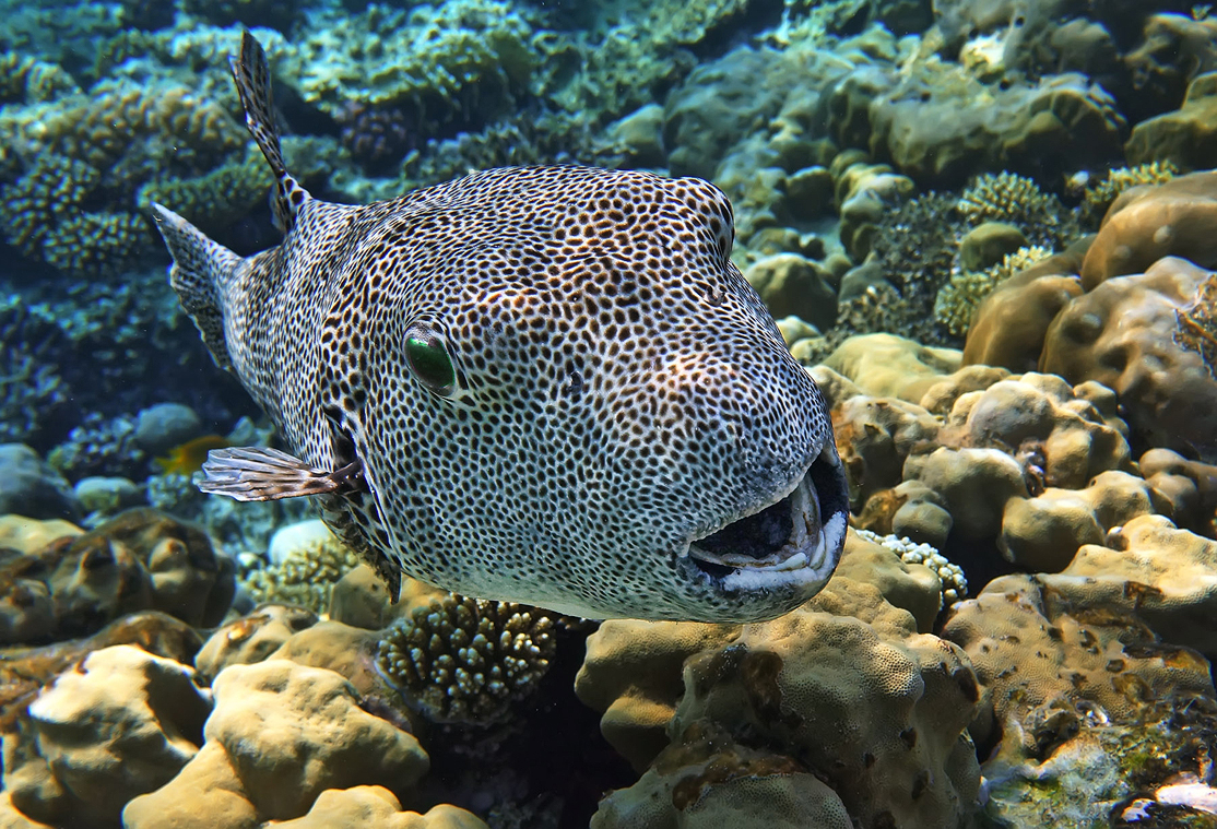 Размер Рыбы около шестидесяти сантиметров. Звездчатый Аротрон, Красное море