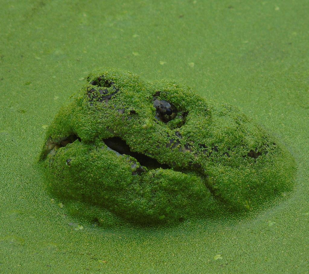Две недели жары и мельничный пруд покрылся толстым слоем ряски. Огромные старые водяныечерепахи, оказывается, с удовольствием ее едят.