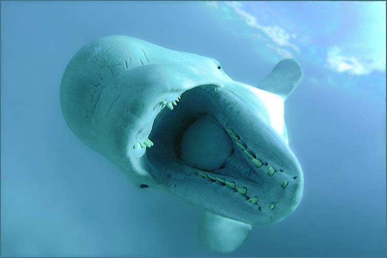 В результате съемок ни один кит не пострадал....Beluha (Delphinaptherus leucas). /Underwater Photographer - Andrey Nekrasov/спец. приз / Украина - 20042-st - август / (BSAC) Великобритания - 2007Photographer of the Year - Великобритания - 2007