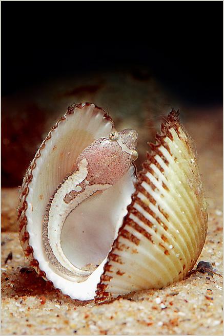 ������ ����. ����. ���� - ������ / Deplecogaster bimaculatus Black sea - 2004. /Underwater Photographer - Andrey Nekrasov/ ������� ������ / �������� - 2005 WINNER / �������� - 2005 WINNER / ������ - 2005 ��������� ������ / ������ - 2006 ����. ����  / ��������� - 2007 2-st - ��� / (BSAC) �������������� - 2007 ����. ���� / ������ - 2007 3-rd., in 2st DAN PHOTOCONTEST SESSION / Denmark - 2008