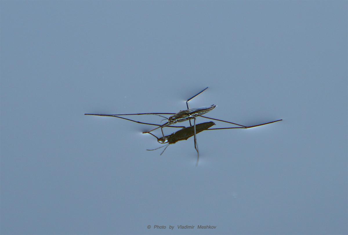 Водомерка - The Water Measurer - (Lat. Gerridae)Водомерка – насекомое, умеющее ходить по воде. Таких интересных созданий нетрудно наблюдать в живой природе, отдыхая летом на берегу какого-нибудь спокойного пруда.Водомерка имеет удлинённую форму, а по внешнему облику напоминает микроскопические лодочки, бойко скользящую по поверхности воды. Водомерка (класс насекомые) является обладательницей длинных тонких ног, с помощью которых с лёгкостью передвигается по глади водоёмов, похожая на конькобежца-виртуоза, об искусстве и мастерстве которого позаботилась
