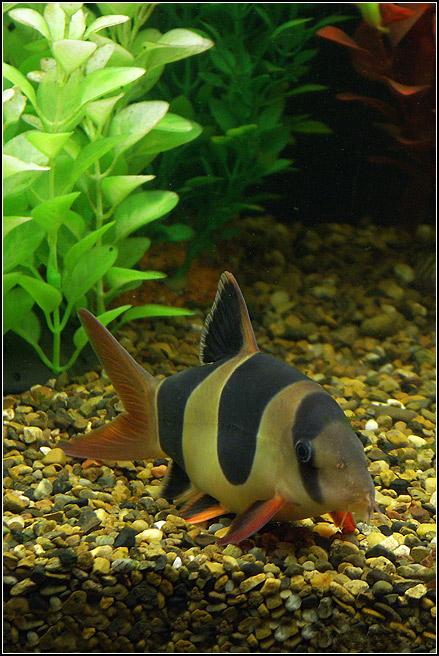 Домашний  аквариум.***************************************Рыбка  семейства  вьюновых.   В  хорошихусловиях  вырастает  до  25 - 30 см.Разведение  сложное,  иногда  приходитсяиспользовать  инъекции  гонадотропина.