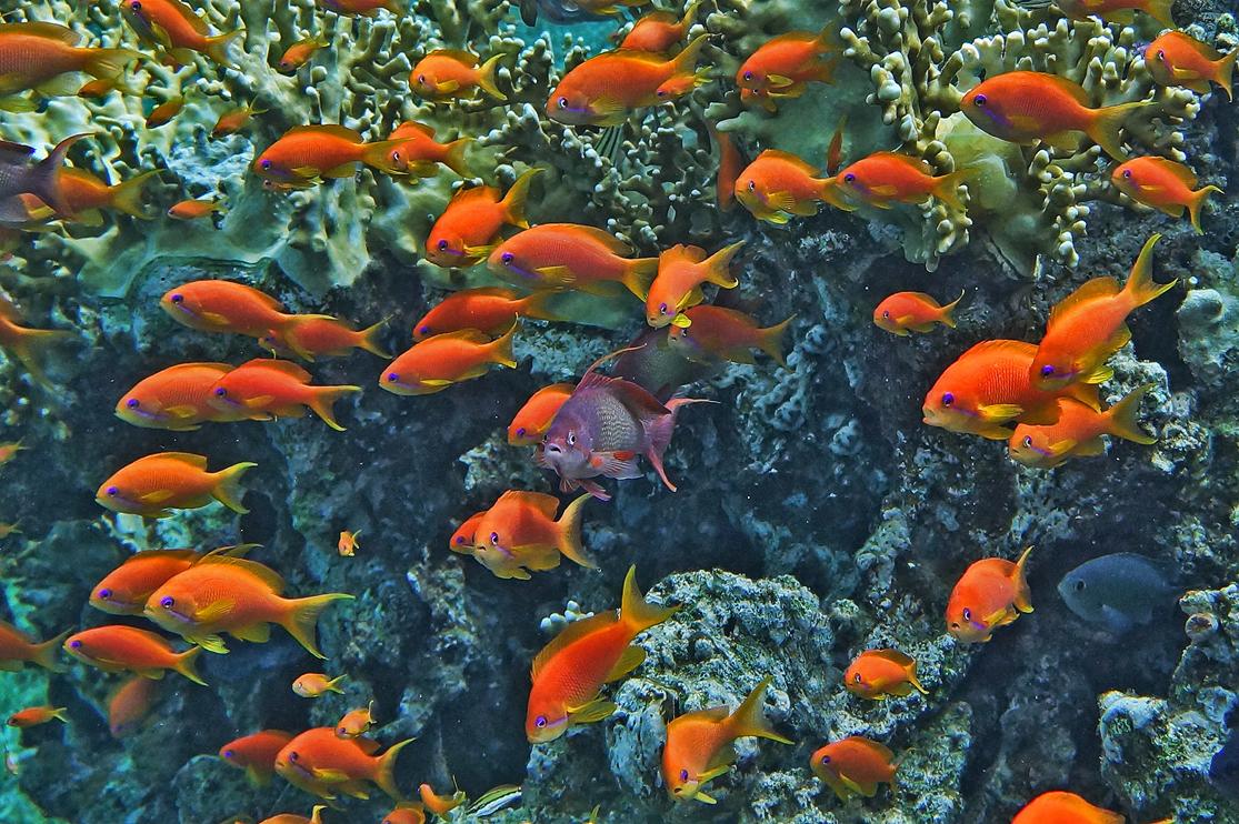 Снято на глубине около трех метров. Размер Рыбок 4-5 сантиметров.Драгоценный Псевдантиас, Огненные КораллыКрасное море