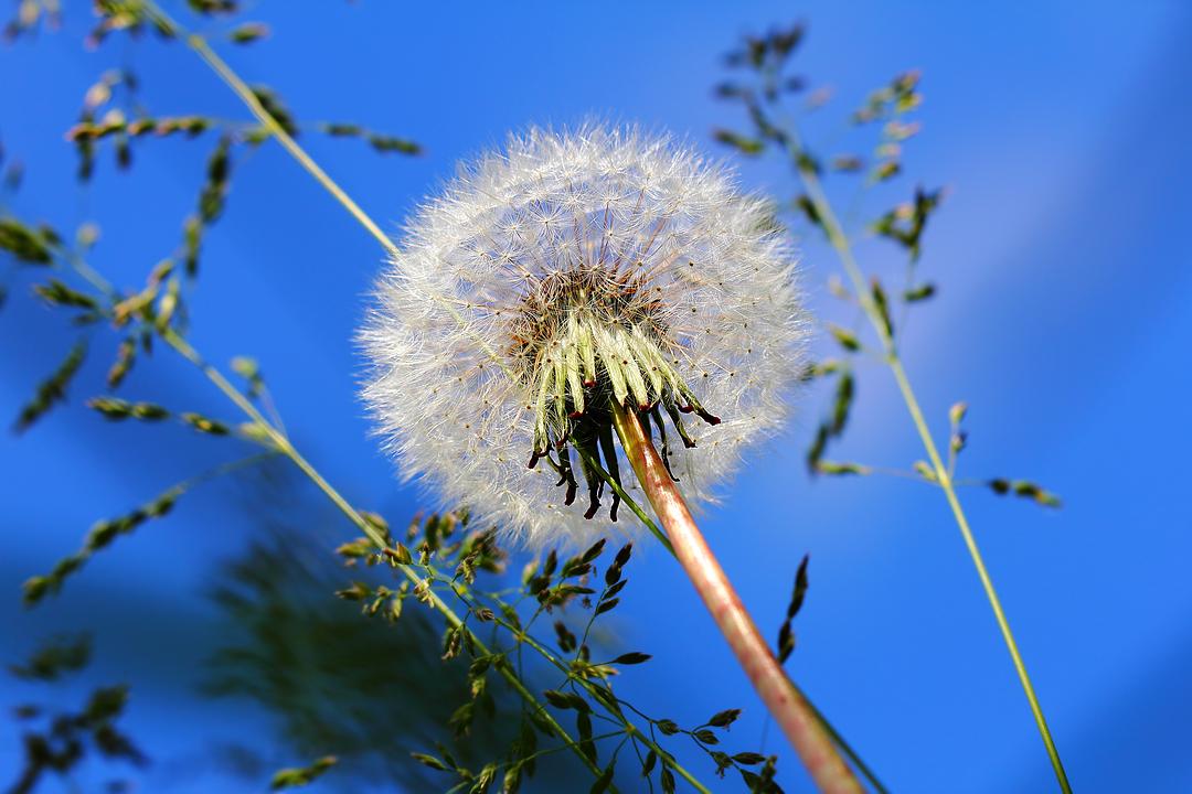 Одуванчик обыкновенный (Taraxacum officinale)