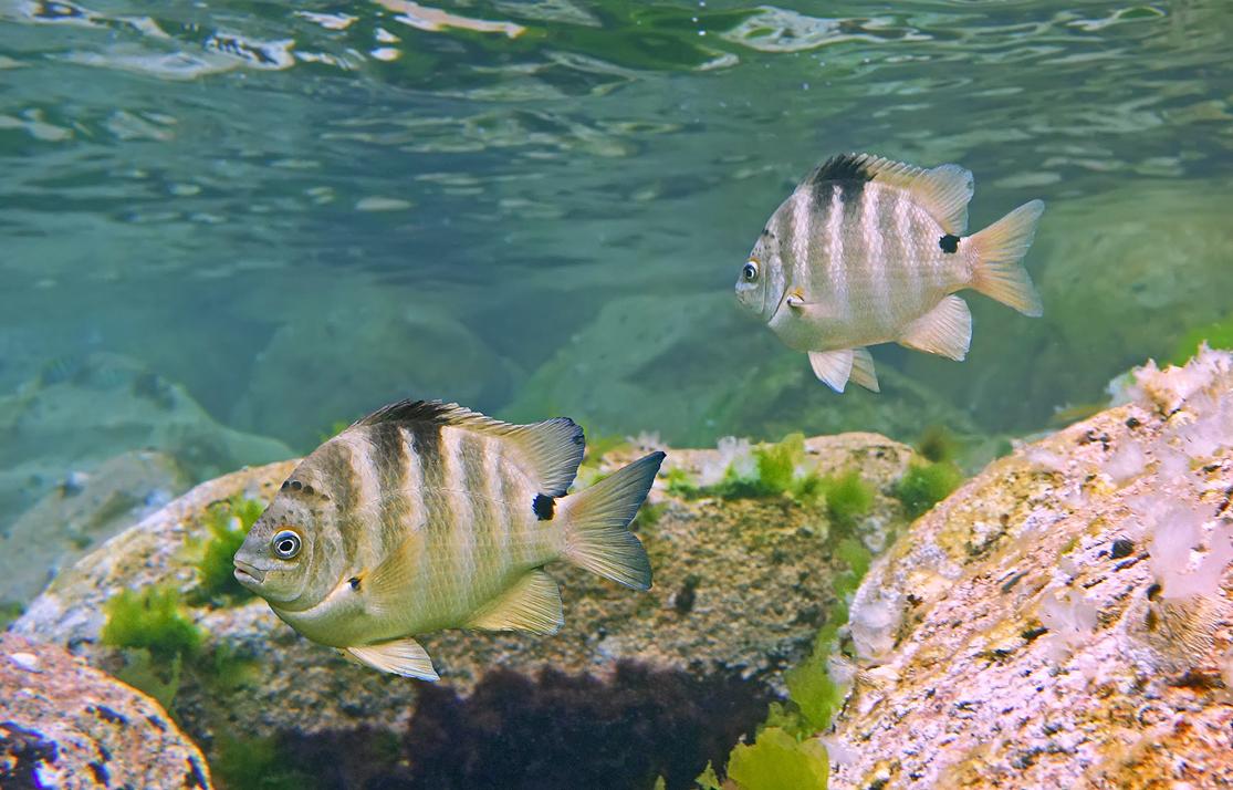 Размер Рыбки примерно 15 сантиметров.Чернопятнистый Абудефдуф, Красное море
