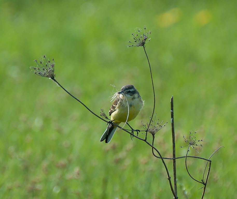 луг,природа,птицы,трясогузка желтая