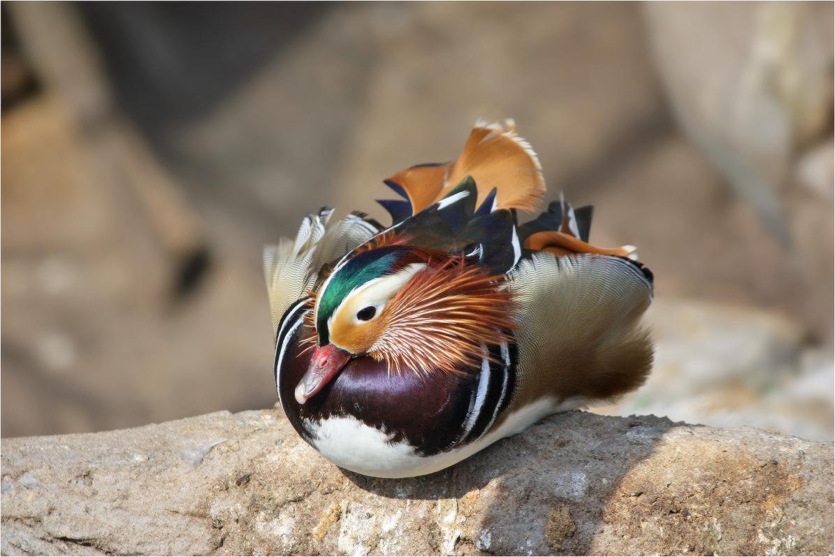 """Мандаринка(лат. Aix galericulata) — небольшая птица рода лесных уток. Существуют и другие, устаревшие, названия: """"мандаринская утка"""", или """"китайская утка""""..."""