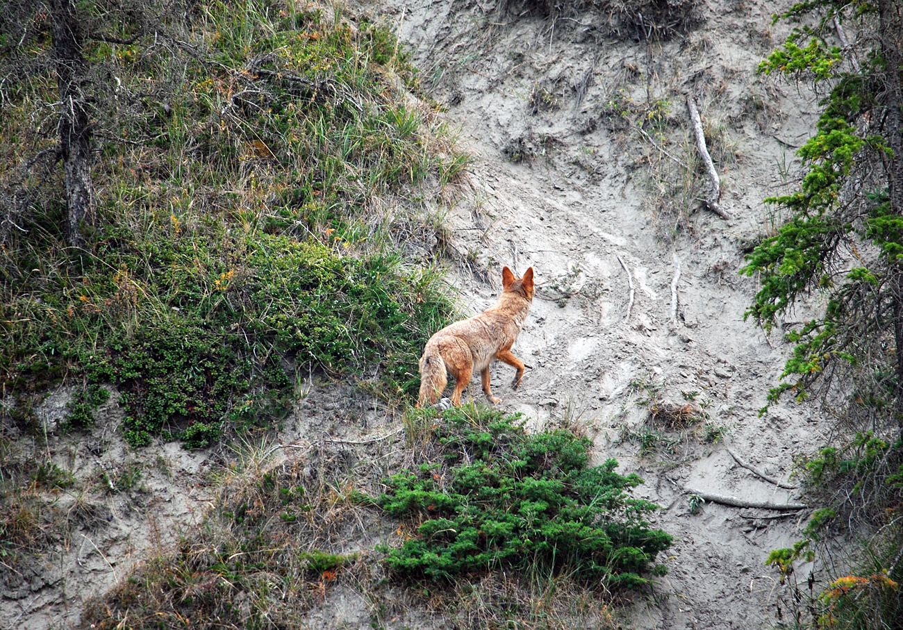 Молодой койот пытался охотиться на горных баранов. Подкрадывался к ним осторожно, но был замечен. Бараны находились далековато, поэтому вместе с хищником в кадр не поместились. Но есть отдельно. Горные бараны, архары, с такими серьезными рогами, и сами такие большие, что даже не знаю, удалась бы ему охота, если б не засекли.