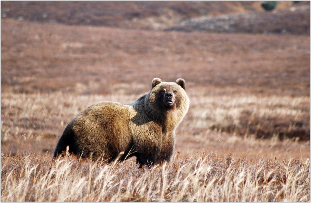Едва забрезжил серенький рассвет, как на полянке нарисовался долгожданный медведь. Мы с вечера засели в старенький шалаш так, чтобы ветер от полянки дул в нашу сторону. Из щелей  укрытия слегка высовывались  объективы наших камер. Но коварный ветер неожиданно изменил направление и медведь тут же почуствовал запах человека. Мгновенье и мишка исчез. Фотосессия не состоялась.