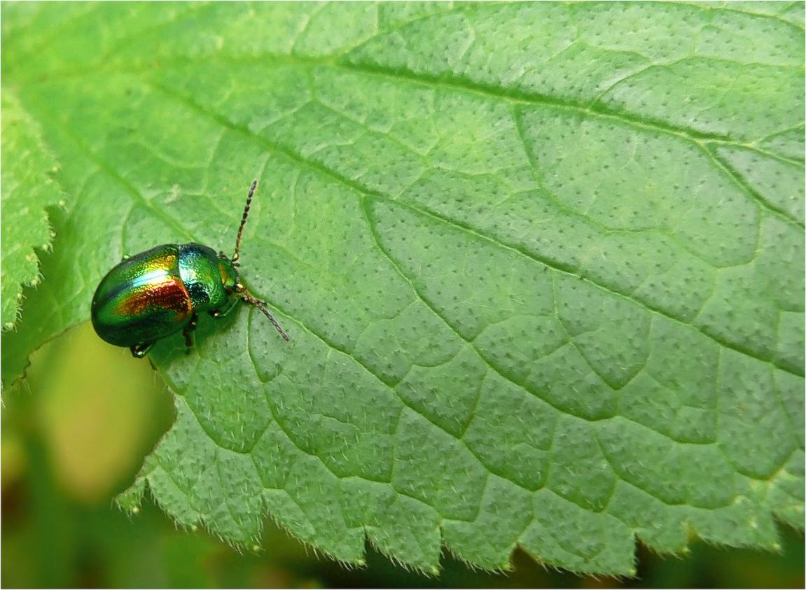 Щавелевый листоед(лат. Gastrophysa viridula) — вид жуков подсемейства хризомелин (Chrysomelinae) из семейства листоедов (Chrysomelidae)...
