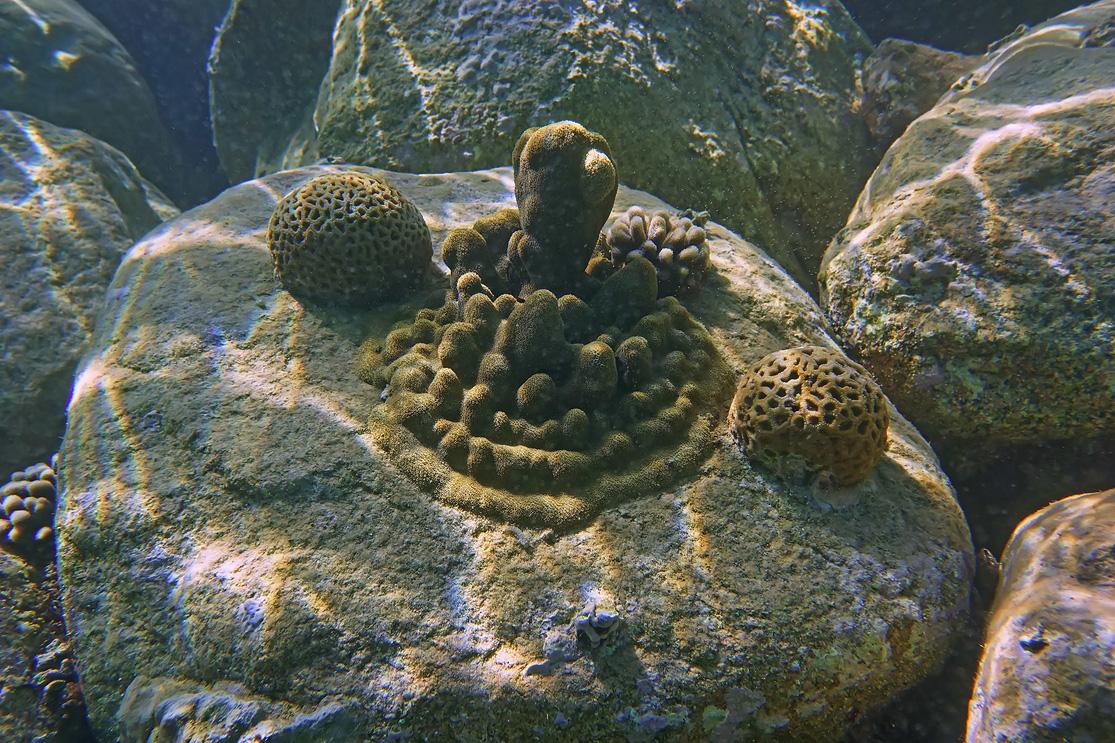 На глубине около пяти метров наблюдала такую картину: два темнокожих дайвера укладывали Кораллы- Мозговики на дне. Иорданская Морская Научная Станция Акабы занимается пересадкой кораллов. https://content-29.foto.my.mail.ru/mail/mvmil56/8831/b-8926.jpgНа выставленной фотографии плоды их работы- Подводные Скульптуры.Красное море