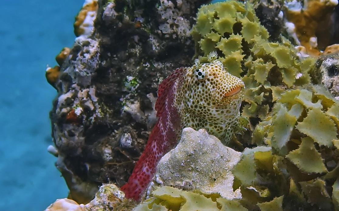 Короткая Экзалия — рыба семeйства собачковых, очень осторожный обитатель верхушек коралловых рифов. Вырастает до 10 см, питается коралловыми полипами, не имеет плавательного пузыря, передвигается по поверхности кораллов при помощи  передних плавников, как на ногах. Очень пуглива - прячется при малейшем движении рядом на расстоянии до трех метров. Короткая Экзалия, Красное море