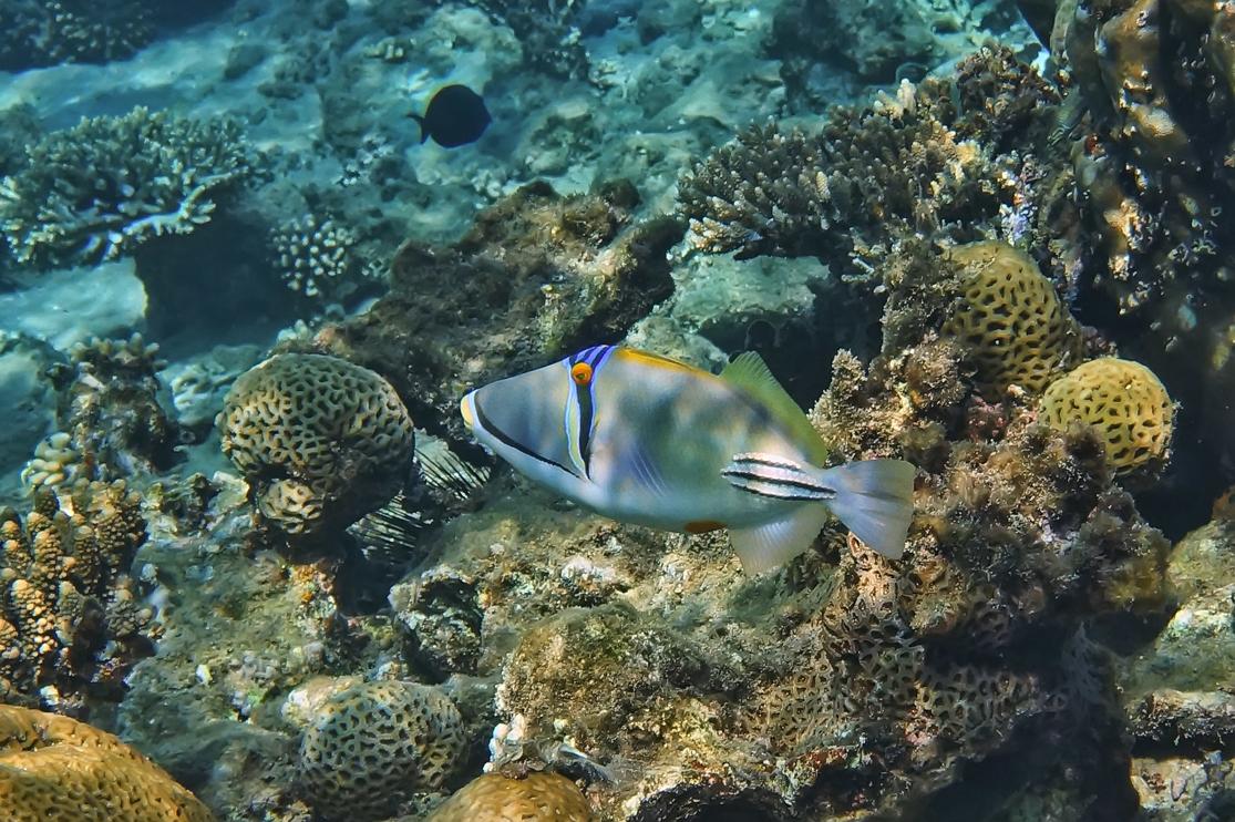 Размер Рыбки около 15 сантиметров. Спинорог Пикассо, Красное море