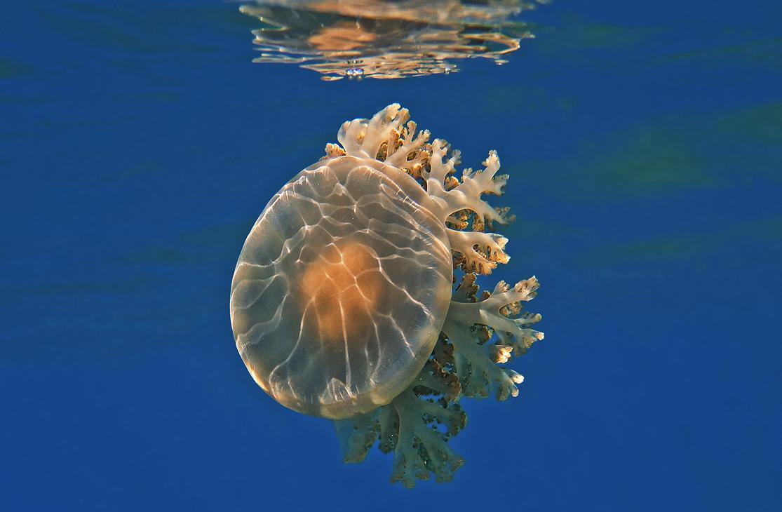Андромеда Кассиопея (Донная Медуза), Красное море