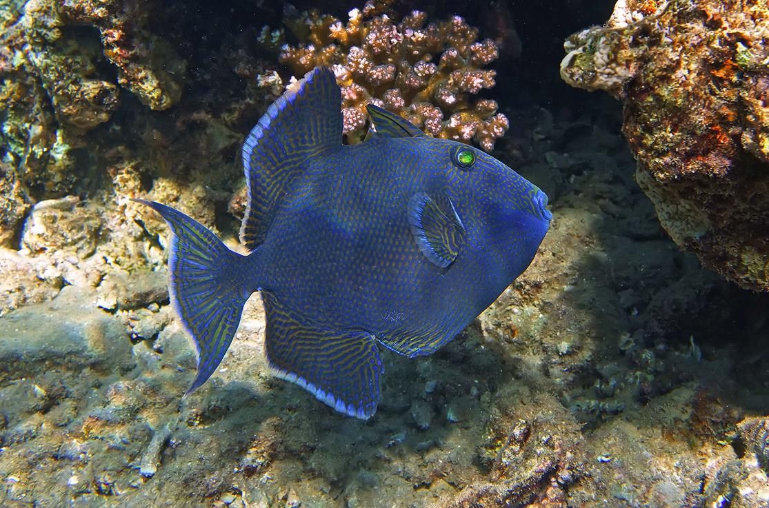 Размер рыбы около полуметра, снято на глубине 4-х метров.Коричневый Псевдобалихт, Красное море