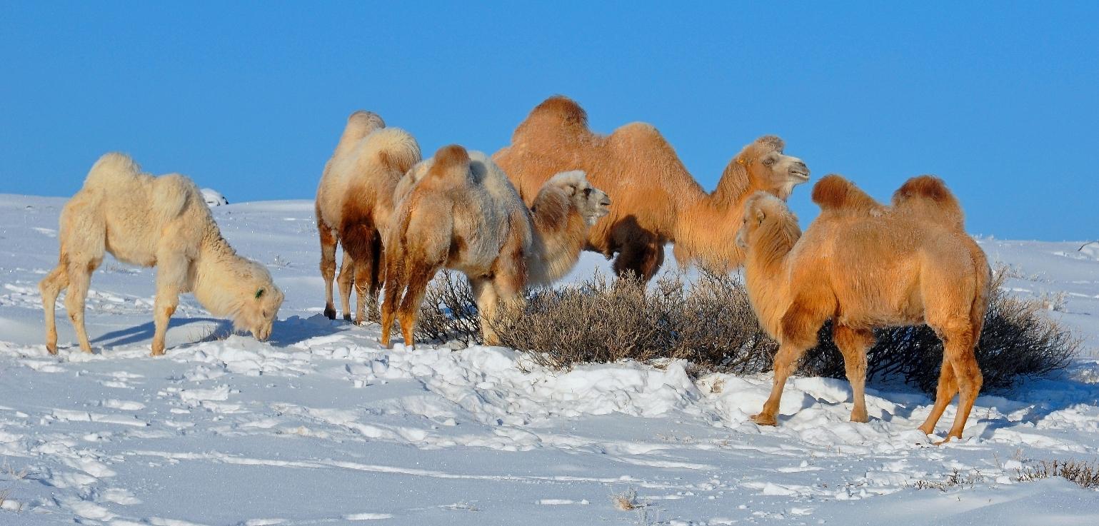 Чуйские бактрианы морозным декабрём. Алтай-17.