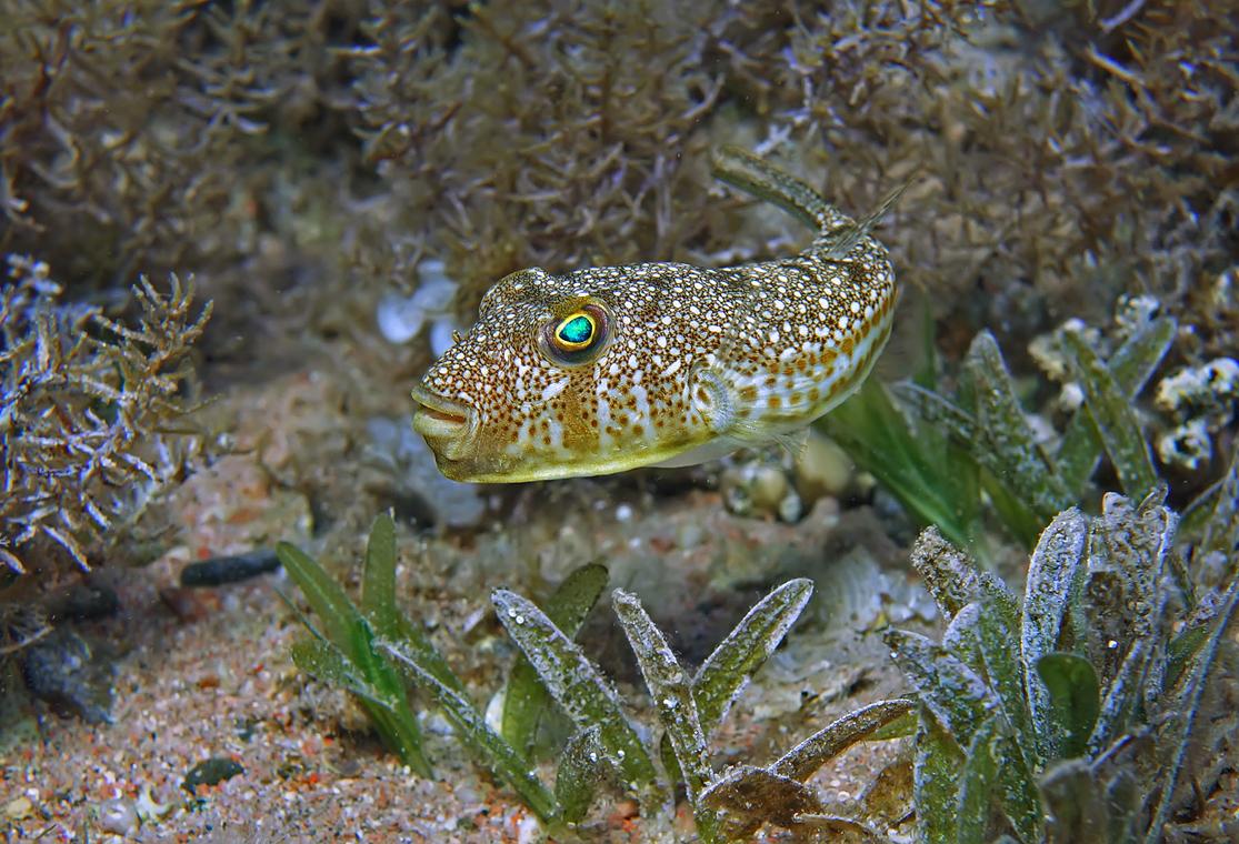 Размер Рыбки не больше 10 сантиметров. Снято на глубине около трех метров.Красноморский Иглобрюх- Торквигенер, Красное море