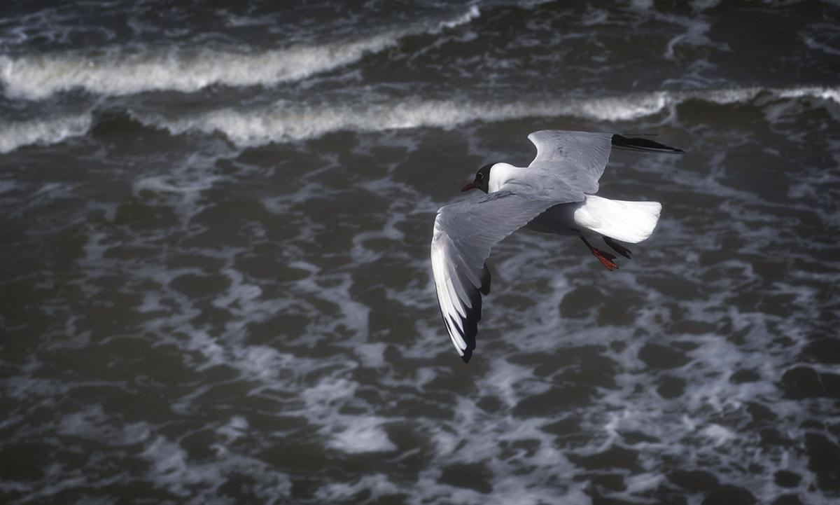 Балтийское море,чайка.