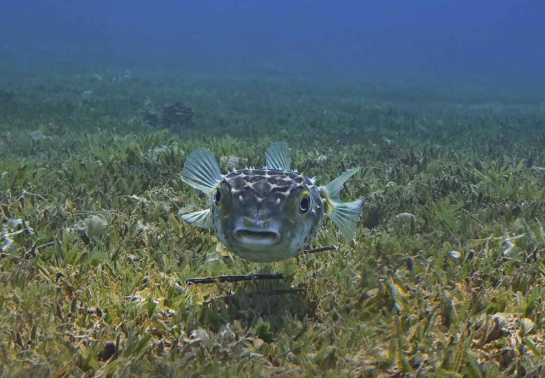 Размер Рыбы около 40 сантиметров. Снято на глубине трех метров.Желтопятнистый Циклихт, Красное море