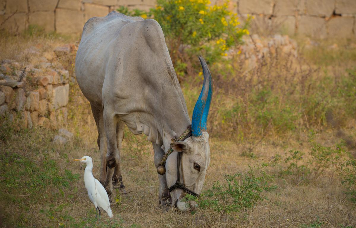Индия.Карнатака. Коровоукрашательство в Индии имеет религиозный и статусный смысл.На любой праздник, связанный с темами плодородия, урожая и т.д.) коров кормят (рис, сахар и другие вкусности) и красят. Ленточки привязывают. У кого не хватает средств раскрасить шкуру коровы, красят хотя бы рога.Так же поступают с буйволицами.