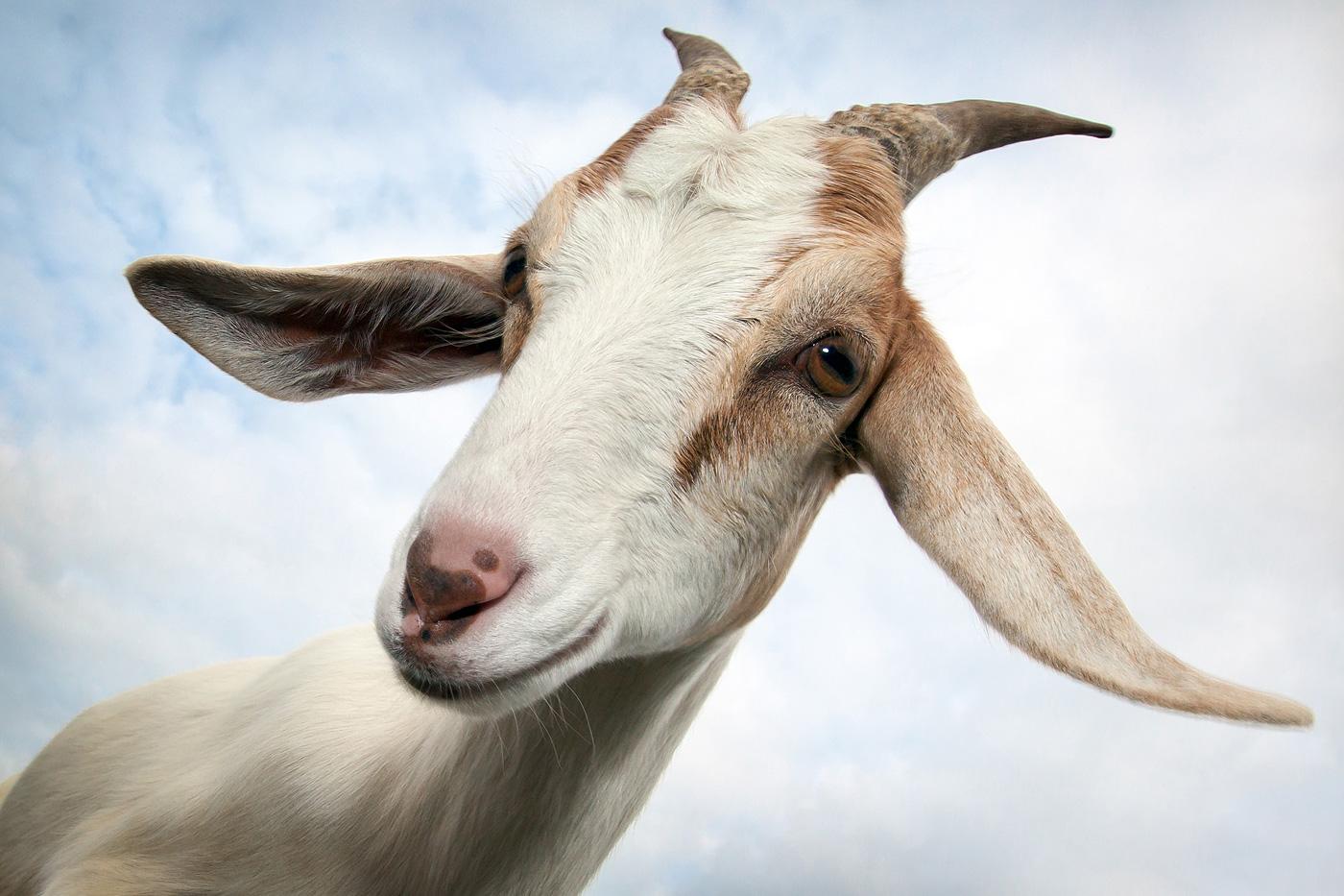 коза, портрет, небо, взгляд, флирт, улыбка, животное, природа,