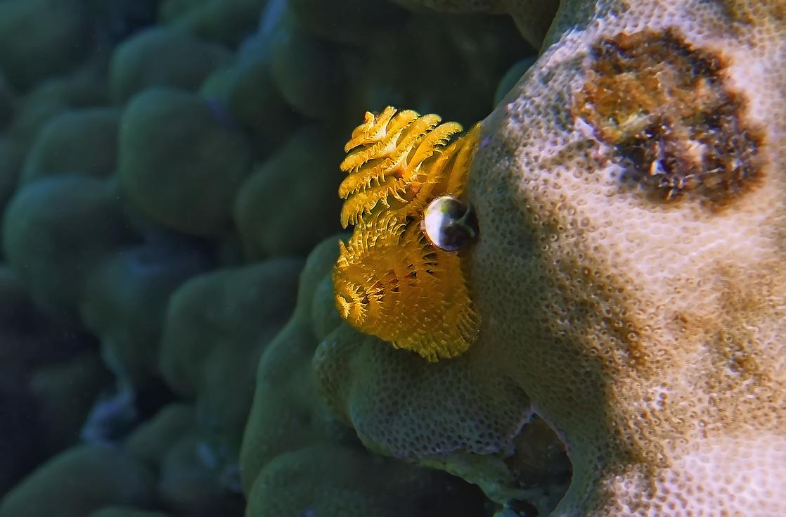 Спиробранхус- Многощетинковый Червь, Красное море