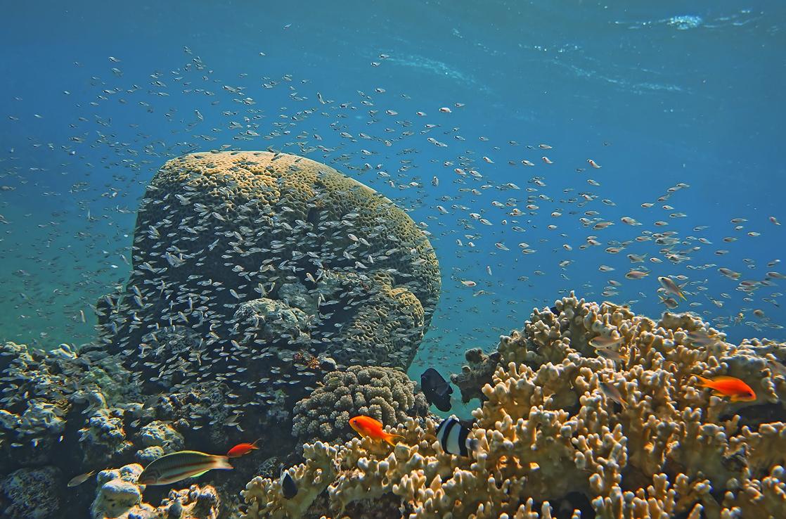 Коралл- Мозговик, Огненные Кораллы, Красное море