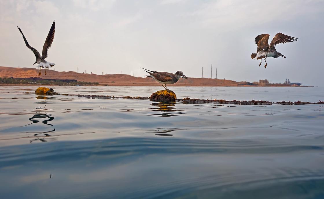 Заметила, что Птицы, когда их снимаешь непосредственно из воды,не сразу замечают фотографа, и можно, если повезет, наблюдать, как они ловят Рыбуи сделать несколько кадров, неспешно и аккуратно приближаясь к объекту съемки.Чайки, Красное море