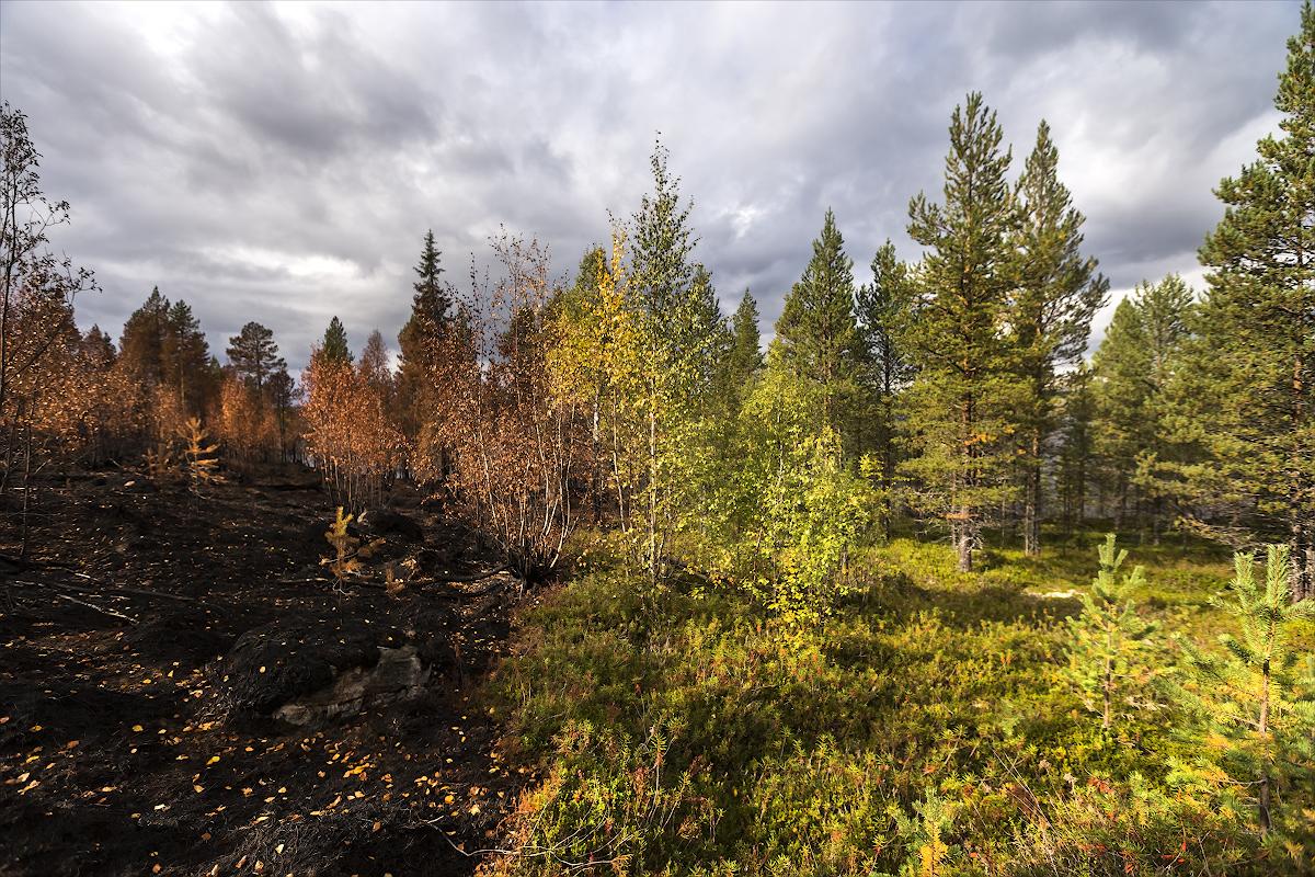 Карелия. Лесные пепелища, тяжёлое зрелище. Идёшь по пожарищу, под ногами хрустит, стоит запах гари, вот опалённое дерево с зелёной макушкой - выживет или нет, атмосфера давит и хочется быстрее покинуть это место, быстрее туда, где лес празднует жизнь, где нет этих шрамов на теле Земли.