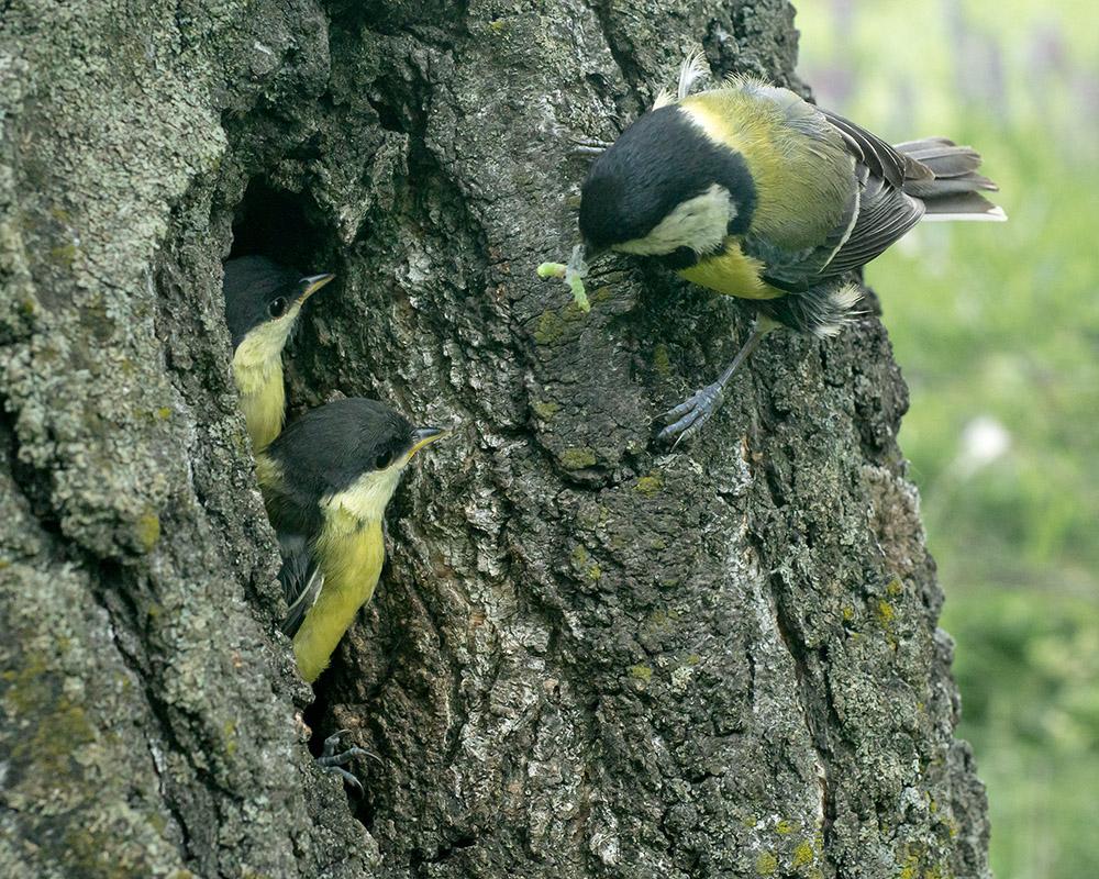 Большая синица (Parus major) у гнезда