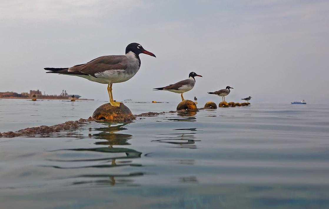 Заметила, что Птицы, когда их снимаешь непосредственно из воды,не сразу замечают фотографа, и можно, если повезет, успеть запечатлетьстройную диагональ Чаек, внимательно высматривающих добычу...Чайки, Красное море