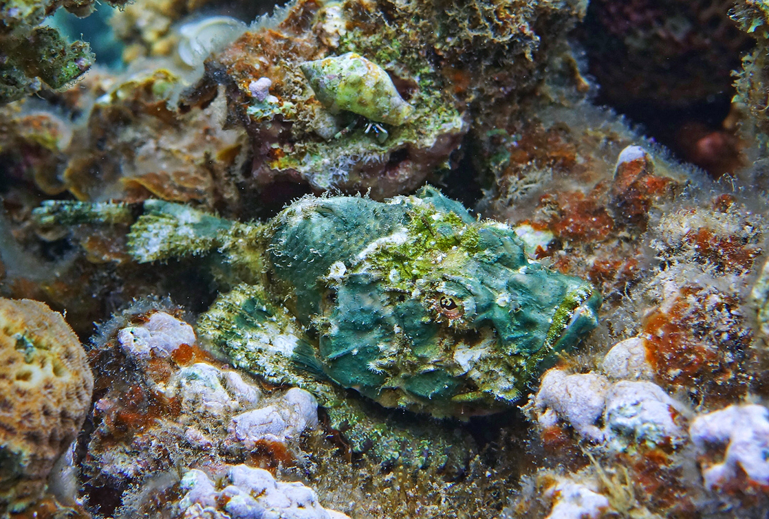Размер Рыбки около 20 сантиметров. Снято на глубине трех метров.Дьявольский Скорпенопсис, Красное море