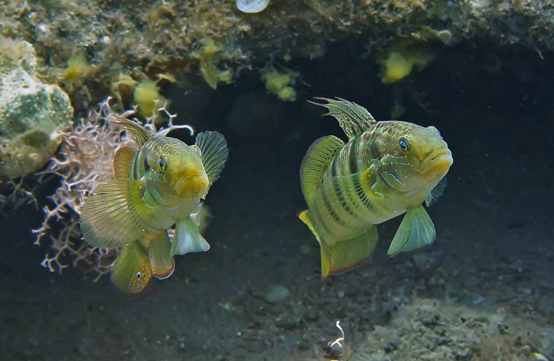 Размер Рыбок около 15 сантиметров. Снято на глубине трех метров.Пятнистохвостый Рифовый Бычок, Красное море
