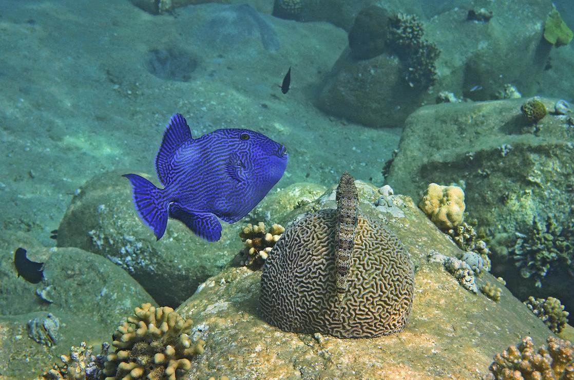 Коричневый Псевдобалихт, Коралл- Мозговик, Ящероголов Красное море