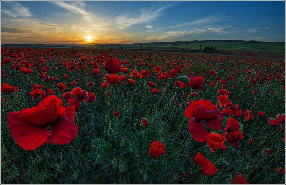 Крым, утро, восход солнца, маки.