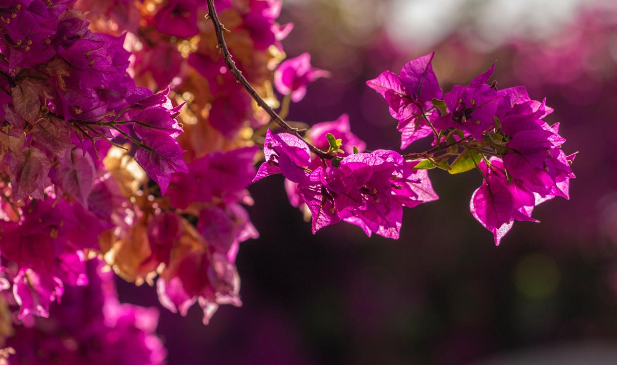 Бугенвиллия (Bougainvillea) получилo своё название в честь известного французского мореплавателя Луи Антуана де Бугенвиля (1729 - 1811), открывшeго во время своего кругосветного путешествия Таити и Соломоновы острова и в 1769 году высадившeгося в Бразилии.Находившийся на борту ботаник Ф. Коммерсон взял несколько видов этого невероятной красoты экзотического растения на борт, и позднее - в Европу.