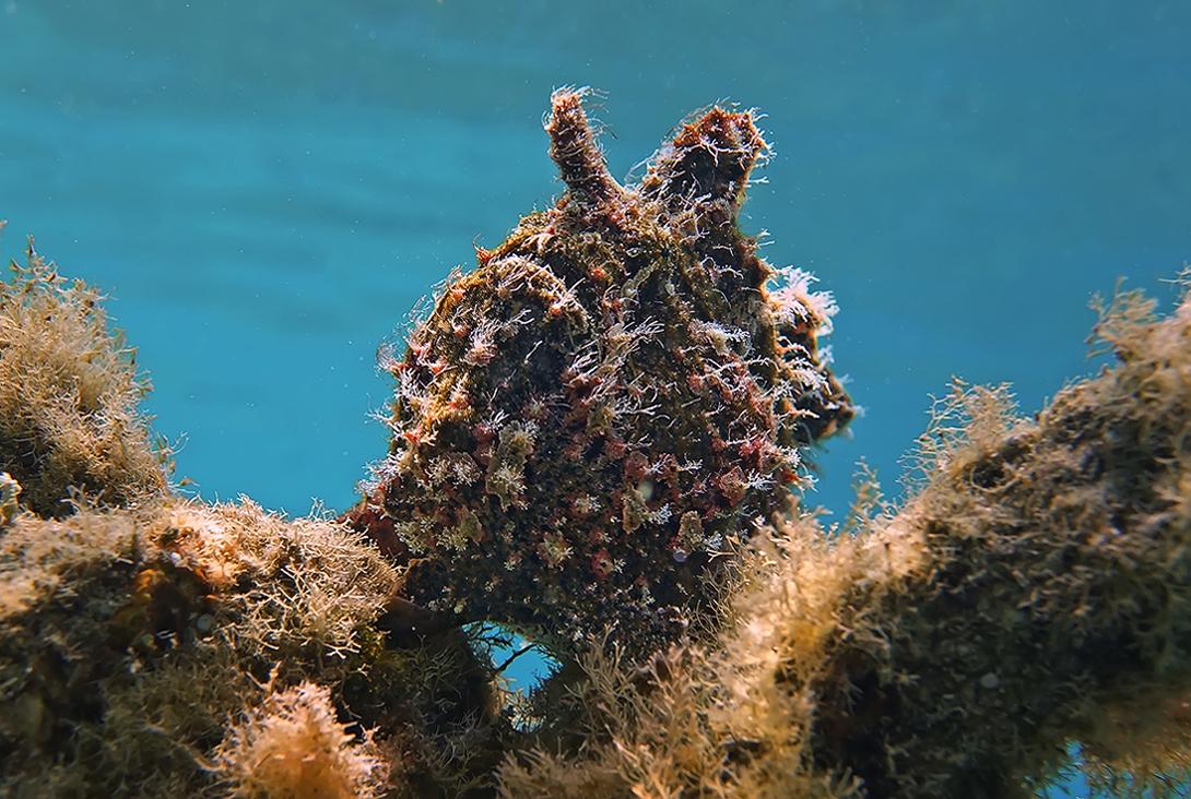 Таитийская Бородавчатая Рыба-КлоунКрасное море